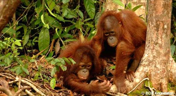 Orangutan Protection Foundation